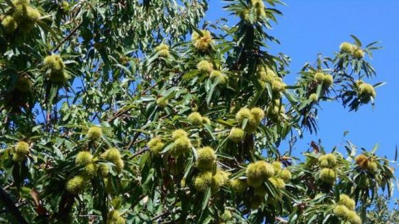 Trancoso pede ajuda ao Governo para minimizar prejuízos em castanheiros