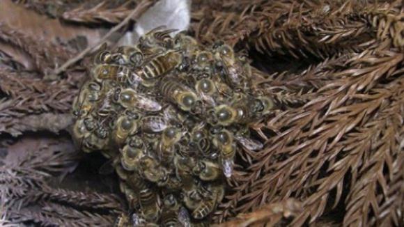 Viana do Castelo destruiu 2.554 ninhos de vespa asiática desde 2012
